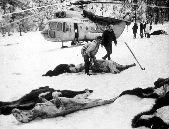 Bear poaching with military helicopter in the Russian far-east.