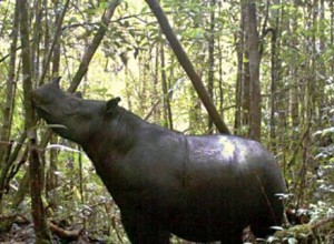 Camera traps confirm that Sumatran rhinos still roam Leuser rainforest