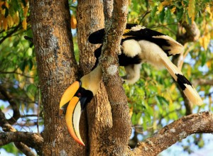 First hornbill reintroduction project launched in northern Thailand