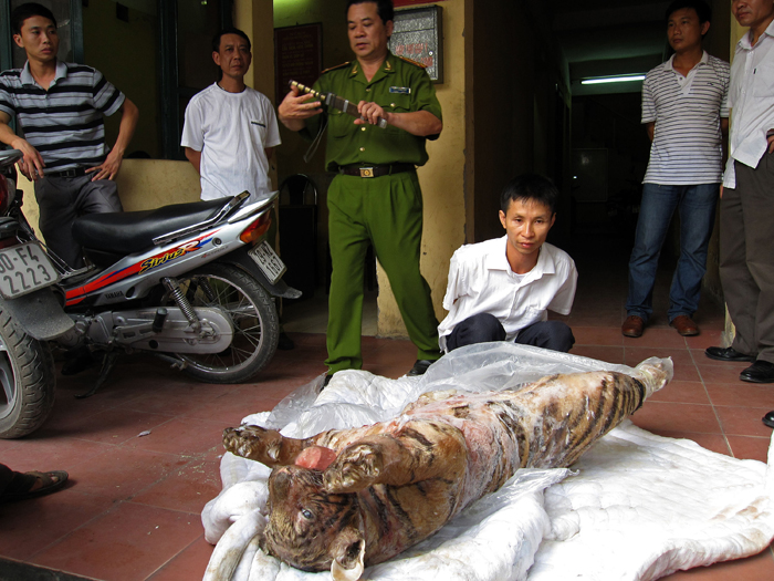 A suspect is arrested and held in Hanoi Vietnam with a frozen tiger. Copyright © Traffic SE Asia