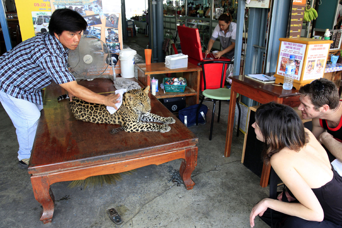 Asian leopard being kept illegally for photo opportunities with tourists. Kanchanaburi Thailand. Copyright © Adam Oswell