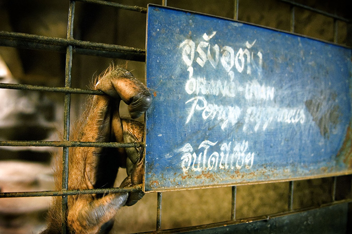 Orangutan in private zoo, Bangkok, Thailand. The trade in great apes is prevalent in Asia to supply theme parks and tourist attractions. Copyright 2015 © Adam Oswell
