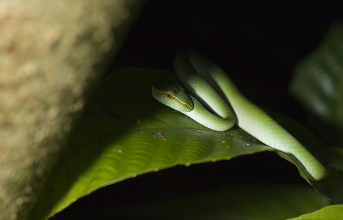 green_tree_viper2