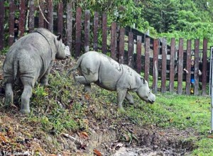 Only three Sumatran rhinos left in Sabah