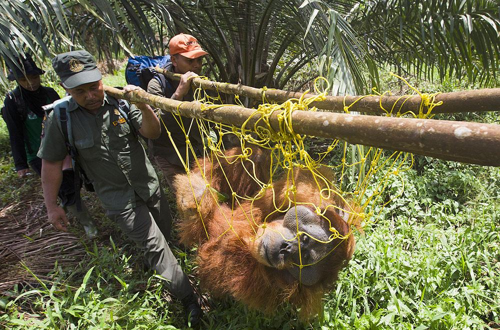 Orangutan-Resuce-Image