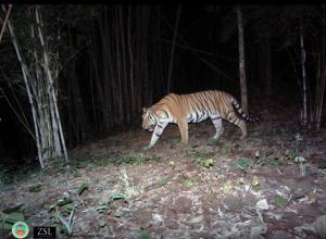 Conservationists discover tigers in Thailand's WEFCOM
