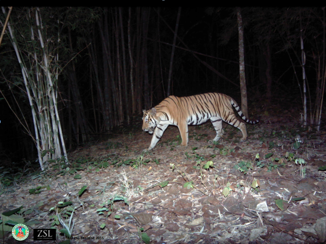Indochinese tiger (Panthera tigris corbetti) recorded in Thailand s Western Forest Complex. Copyright © ZSL