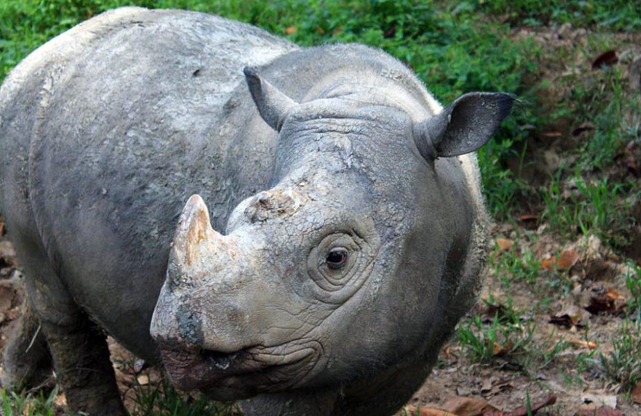 The Sumatran rhinoceros (Dicerorhinus sumatrensis)